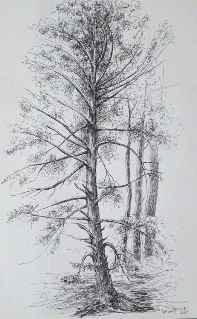 Drawing of towering hemlock tree