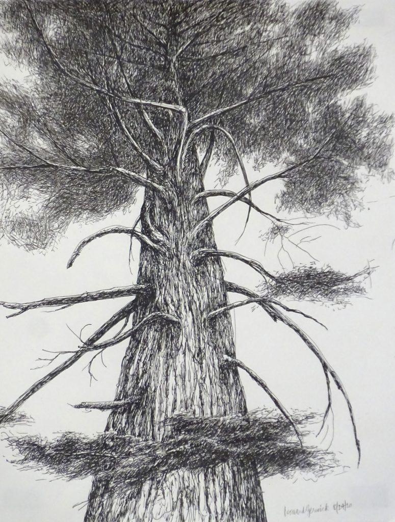 Drawing of hemlock from Below